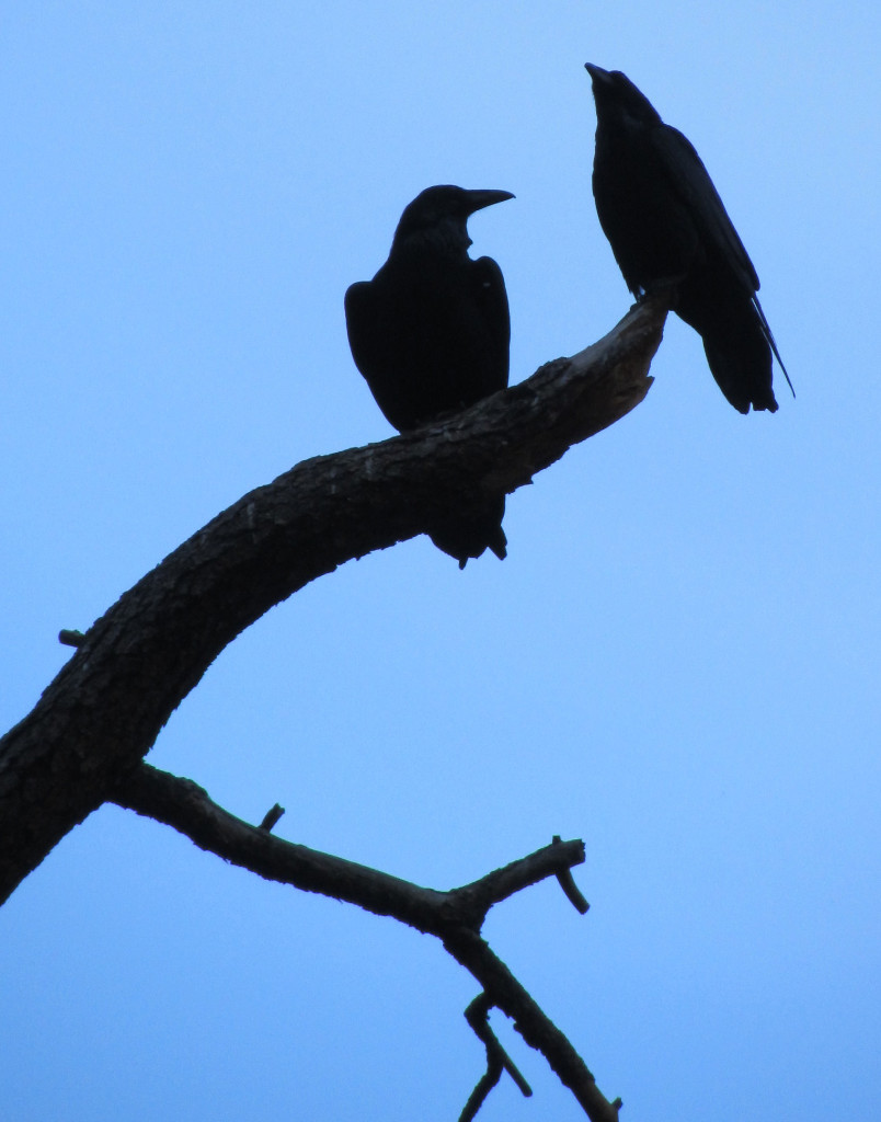 Two ravens in a tree near our room at Yosemite in November, 2014.